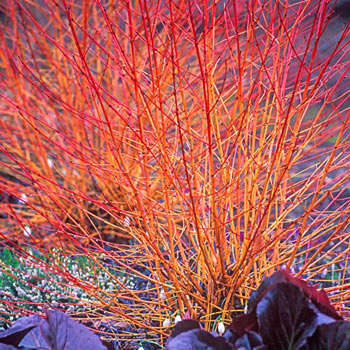 Midwinter Fire Dogwood
