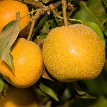 Pear Asian Shinko