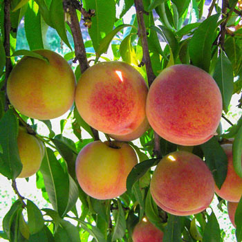 Hale Haven Peach