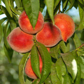 Nectar Peach