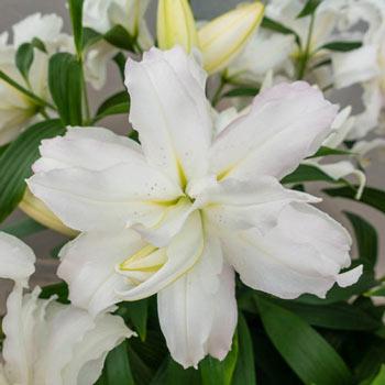 Lotus Beauty Lily