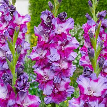 Petsjora Gladiolus