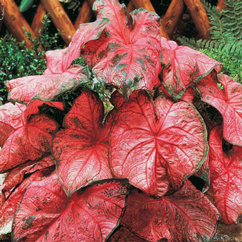 Rosy Leaf Caladium