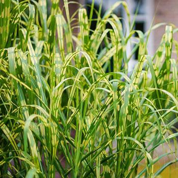 Alligator Grass