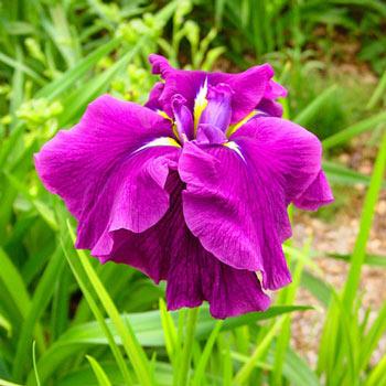 Good Omen Japanese Iris