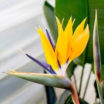 Mandela's Gold Bird of Paradise