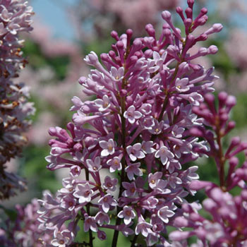Royalty Lilac Hedge