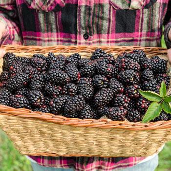 Columbia Star Thornless Blackberry