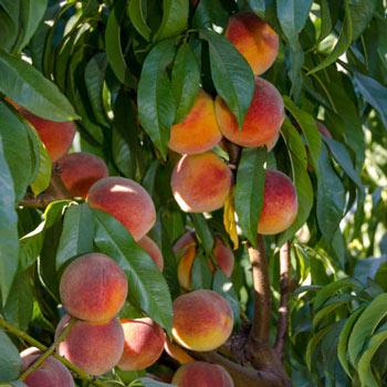 Peach Peachy Keen®