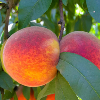 Peach Redskin