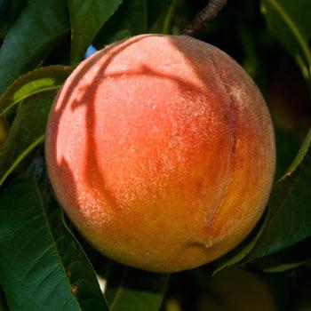 Peach Santa Barbara