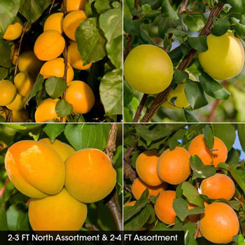 Apricot Fruit Tree Assortments