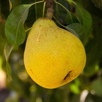 Pear Beurre D'Anjou