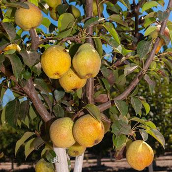 Pear Kieffer