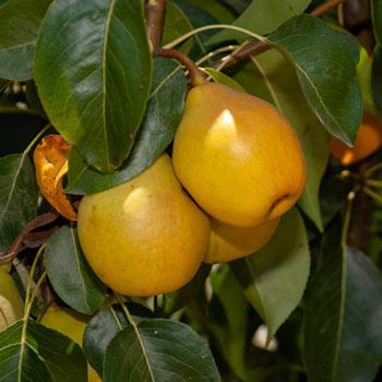 Pear Fan-Stil®