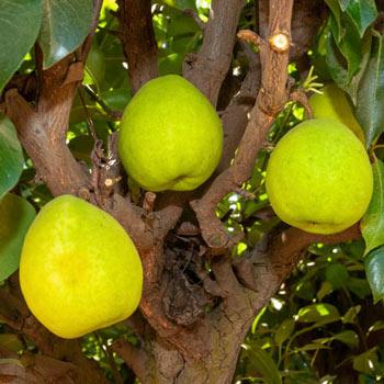 Pear Hood