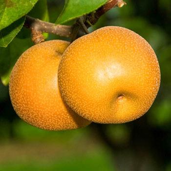 Asian Pear Hosui
