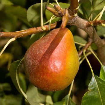 Pear Sugar Pearl