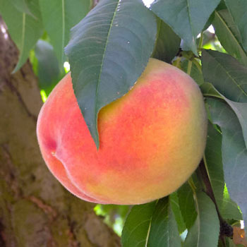 Peach Gleason Elberta