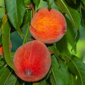 Peach June Gold