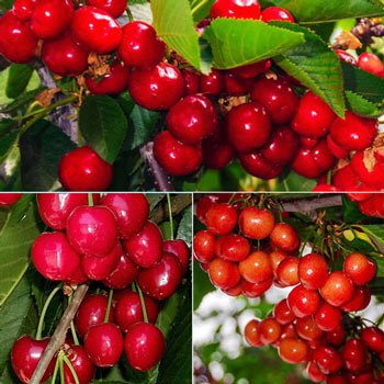 Early Harvest Cherry Tree Collection
