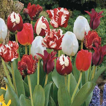 Red Glory Tulip Medley