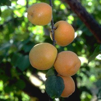 Autumn Royal Apricot