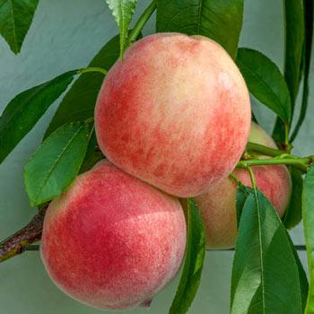 Rio Oso Gem Peach