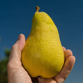 Pineapple Pear Sd 2-4'