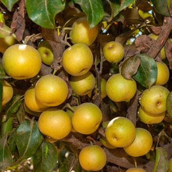 Nuisseiki Asian Pear
