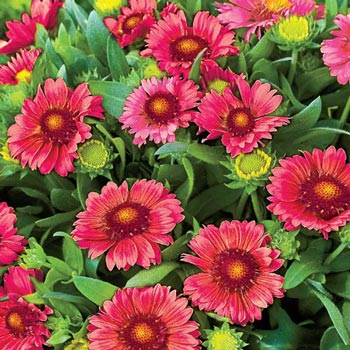 Arizona Red Shades Fiesta Daisy
