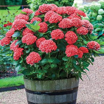 Red Love Hydrangea