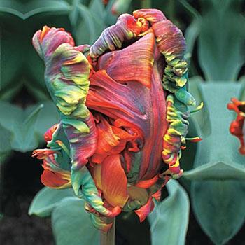 Blumex Parrot Tulip