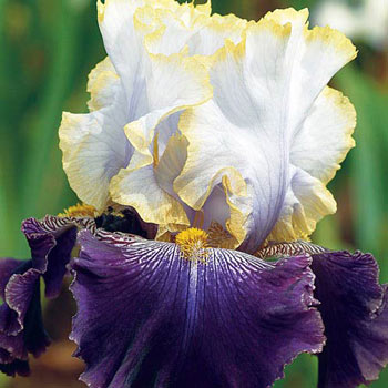 Slovak Prince Bearded Iris