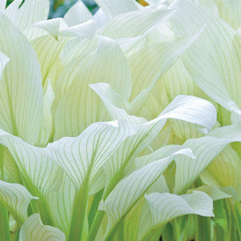 Filigree Hosta