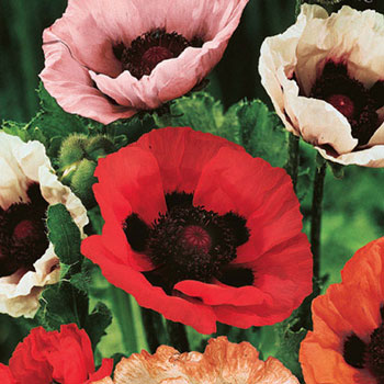 Mixed Oriental Poppies