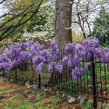 Blue Moon Reblooming Bone Hardy Wisteria