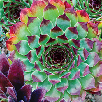 Bicolor Hens & Chicks