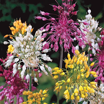 Fireworks Allium Mix