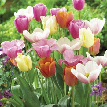 Pastel Tulip Mix