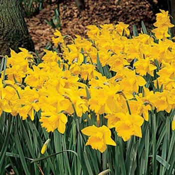 Trumpet Daffodil Improved King Alfred