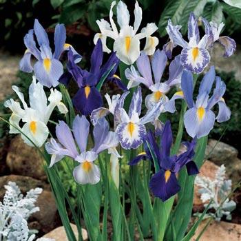 Blue & White Dutch Iris Blend
