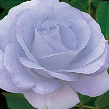Blue Satin Rose