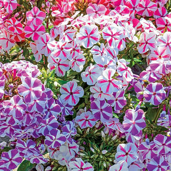 Twisted Phlox Mix