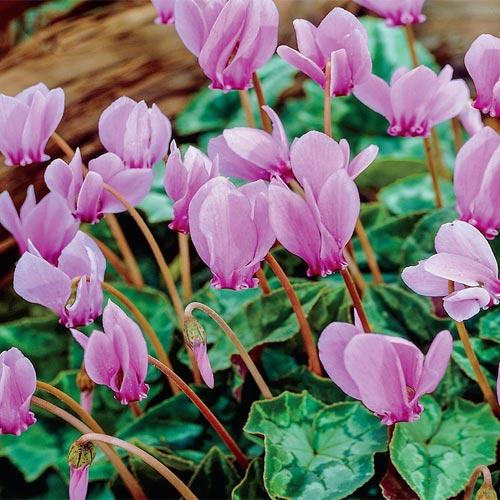 Hardy Fall Blooming Cyclamen