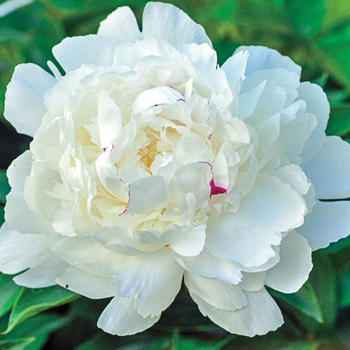 Parfum de Bloom™<br>Festiva Maxima Peony