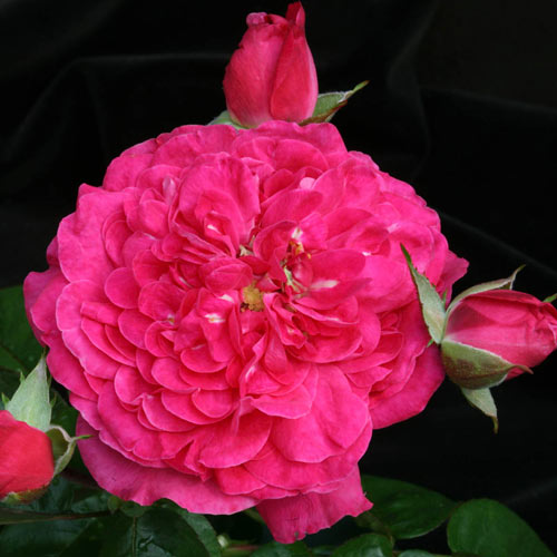 Rose Party Hardy™