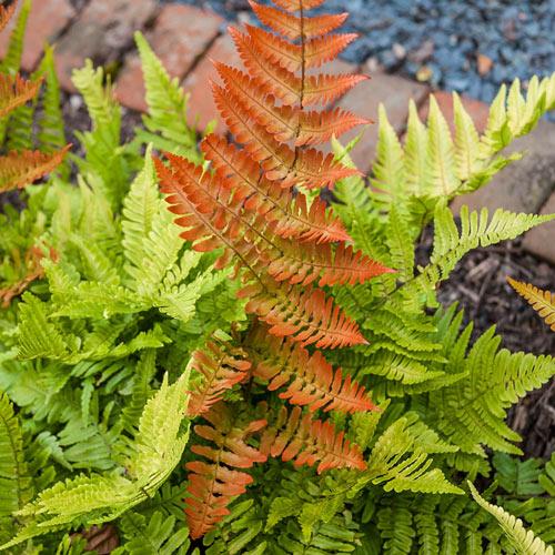 Autumn Brilliance  Fern