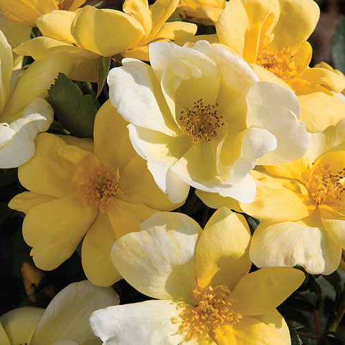 Rose Knockout Sunny Yellow