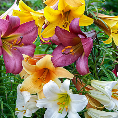Trumpet Lily Mix